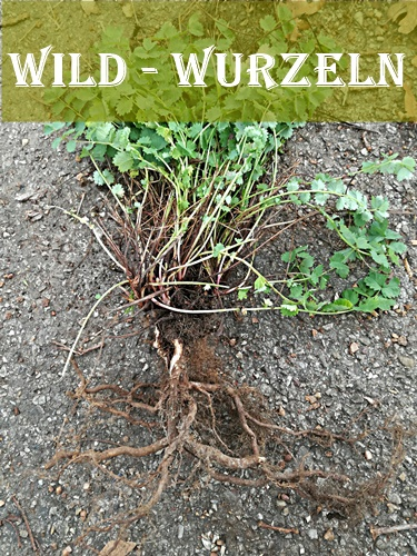 wie werden Wild Wurzel gegraben,Wurzel